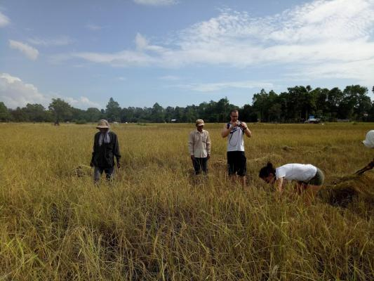 Rice harvesting Season, Siem Reap Cycling Tour